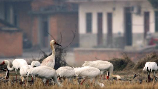 中国第一大淡水湖鄱阳湖时隔两年再次发现环志鸿雁
