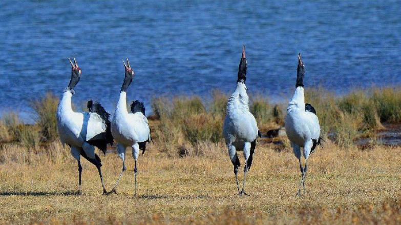 祁连山南麓青海侧湿地濒危物种黑颈鹤种群健康
